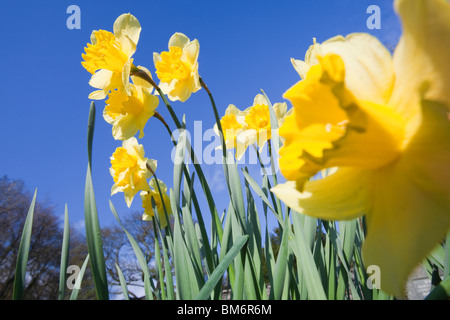 Daffodils in Clappersgate churchyard in Spring, Lake District, UK. - Stock Image