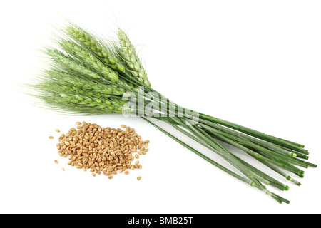 Wheat seeds and plant on white background - Stock Image