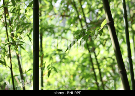 Bright green bamboo forest - Stock Image