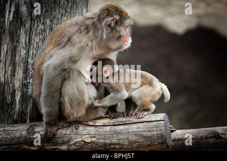The Japanese macaque - an anthropoid. The picture is received in a zoo. - Stock-Bilder