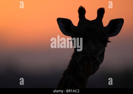 Maasai giraffe (Giraffa camelopardalis tippelskirchi), Tarangire National Park, Tanzania - Stock-Bilder