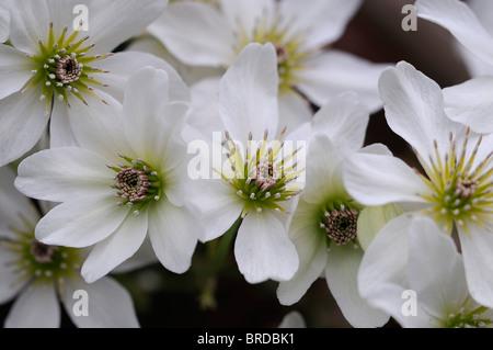 spring flowering clematis stock photos spring flowering. Black Bedroom Furniture Sets. Home Design Ideas
