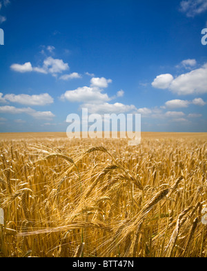A field of barley ripens under a clear blue summer sky. - Stock Image