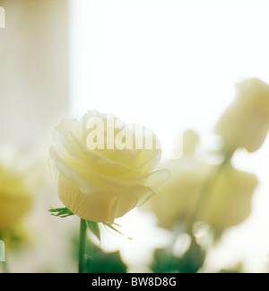 White rose. - Stock-Bilder
