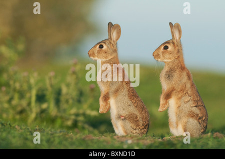 European Rabbit (Oryctolagus cuniculus). Two young alert in evening sunlight, North Kent Marshes, Kent, England. - Stock Image