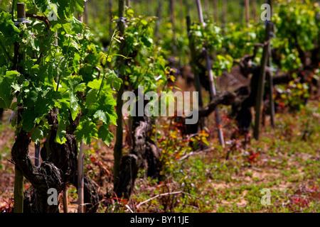 Old grapevine in spring stock photos old grapevine in spring stock images alamy - Planting grapevine in springtime steps ...