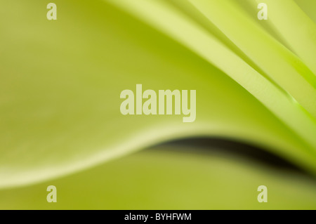 lily flower - Stock Image