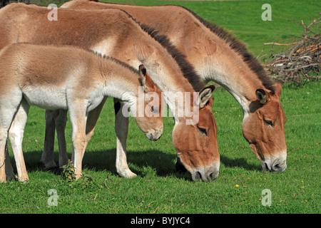Kiang, Tibetan Wild Ass (Equus hemionus kiang). Grazing mares with a foal at the Highland Wildlife Park, Scotland. - Stock Image