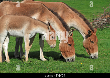 Kiang, Tibetan Wild Ass (Equus hemionus kiang). Grazing mares with a foal at the Highland Wildlife Park, Scotland. - Stock-Bilder