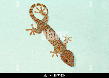 Gekko Monarchus Diet Plan