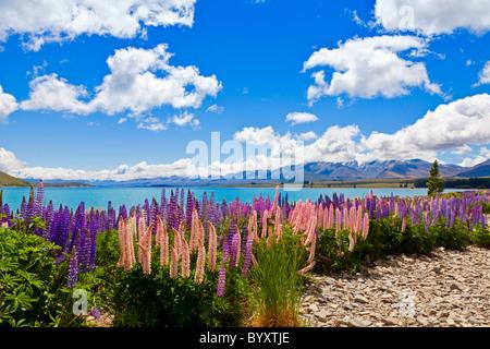 Lupin wildflowers on the shore of lake Tekapo in New Zealand - Stock Image