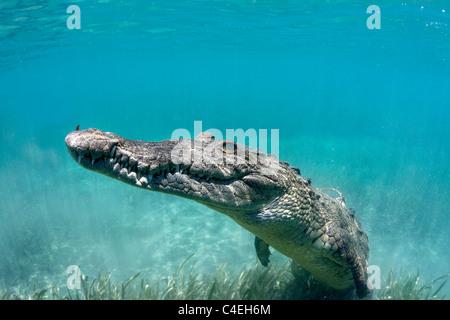 A Cuban Crocodile rests underwater off the coast of Cuba. - Stock Image