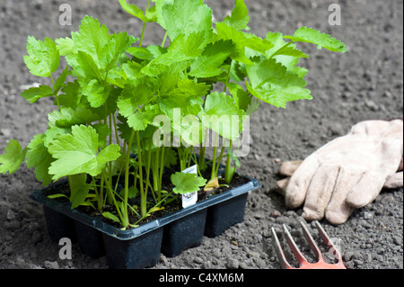 Young Parsnip Plants 'Gladiator', Ready For Planting Out In The Garden - Stock Image