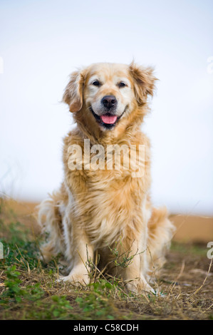 Outdoor portrait of an obedient dog; an elderly female golden retriever. - Stock Image