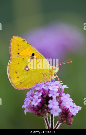 Clouded Yellow Butterfly; Colias croceus; on verbena flower - Stock-Bilder