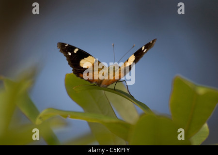 Yellow Admiral butterfly (Vanessa itea) New Zealand - Stock Image