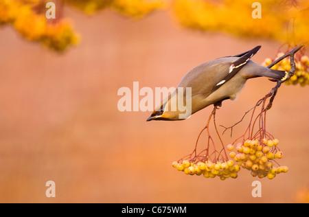 WAXWING Bombycilla garrulus An adult perched on a distinct, yellow variety of rowanNottinghamshire, UK - Stock-Bilder