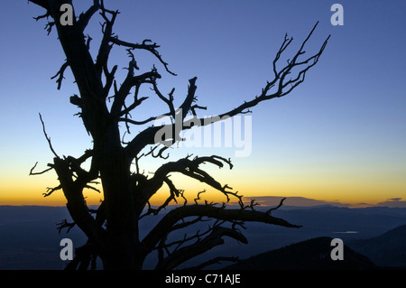 A silhouette of a tree at sunrise in Great Basin National Park, NV. - Stock-Bilder
