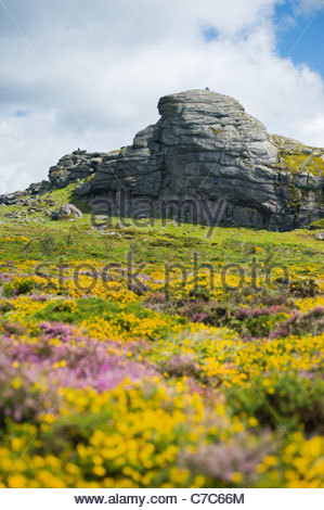 Heather and gorse below Haytor Rocks, Dartmoor National Park, Devon, England - Stock Image