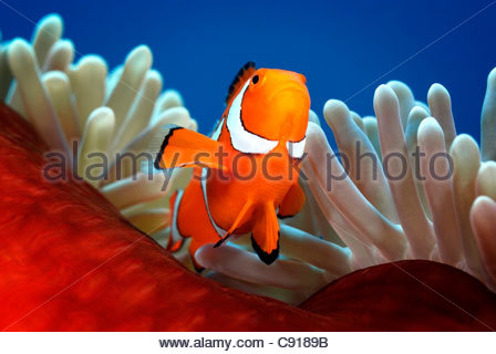 Clownfish (amphiprion ocellaris) Papua New Guinea - Stock Image