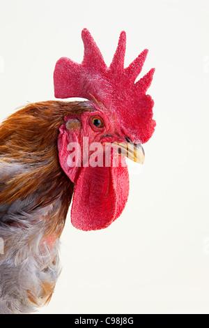 Rooster profile, studio shot - Stock Image