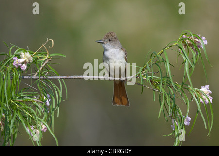 Ash-throated FlycatcherMyiarchus cinerascensCatalina State Park, Tucson, ARIZONA, United StatesApril     Adult  - Stock Image