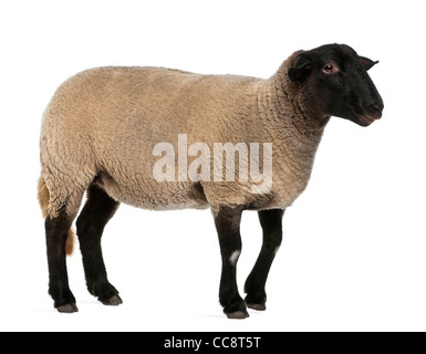 Female Suffolk sheep, Ovis aries, 2 years old, standing in front of white background - Stock Image