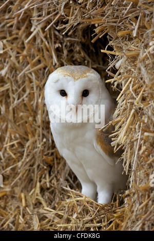 Barn owl ( Tyto alba), captive, in bales of straw, Barn Owl Centre, Gloucestershire, England, United Kingdom, Europe - Stock-Bilder