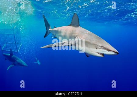 Galapagos sharks and shark cage - Stock Image