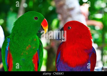 Birds in love: Pair of lori parrots on the tree - Stock-Bilder