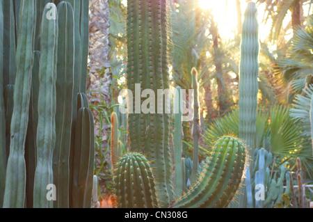 Cacti, Marrakech, Morocco - Stock Image