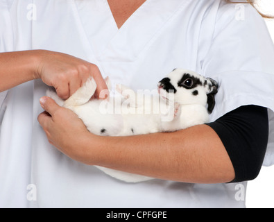 Vet examining a Dalmatian rabbit in front of white background - Stock Image