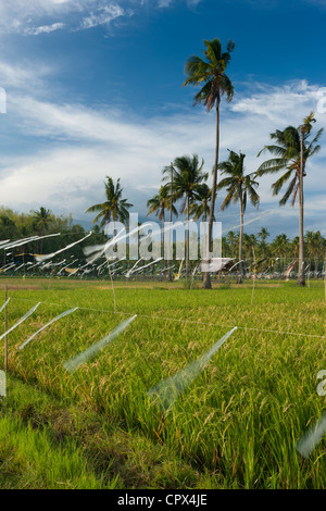 rice fields, palm trees & mountains beyond, nr Malatapay, Negros, Philippines - Stock Image