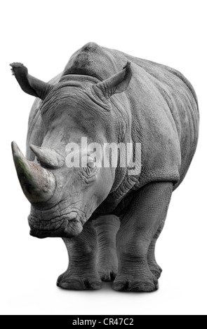 Rhino isolated on white - Stock Image