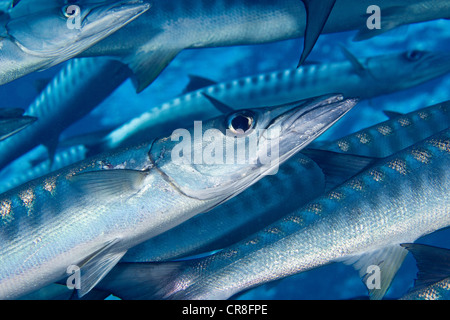 School of fish stock photos school of fish stock images for Barracuda fish for sale