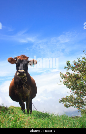 Cow Chewing Twigs on the Mountain Above the Clouds - Stock Image