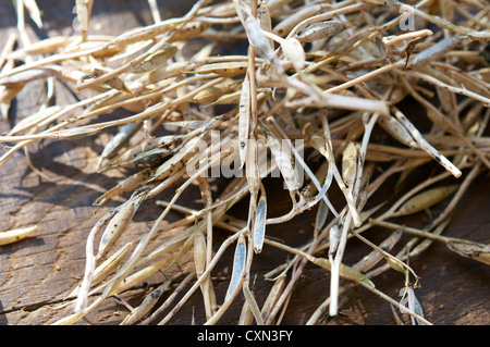 Dried arugula seed pods. - Stock Image