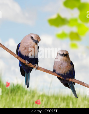 Blue Bellied Roller Birds Perching - Stock Image