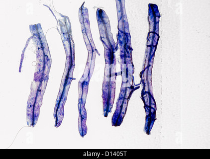 how to prepare a microscope slide from plant tissue