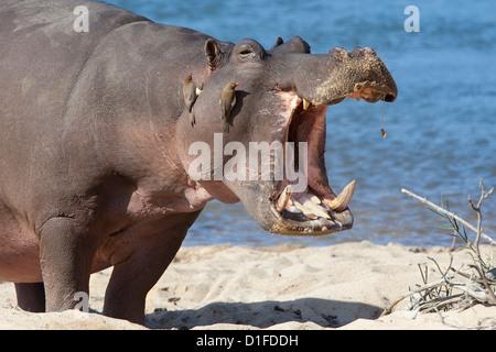 Hippopotamus (Hippopotamus amphibius), Kruger National Park, Mpumalanga, South Africa, Africa - Stock-Bilder