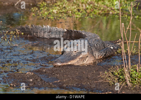 American alligator with evil eye in shallow lagoon Everglades National Park Florida - Stock Image