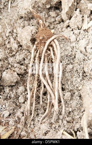 Grolim asparagus plant - Stock Image
