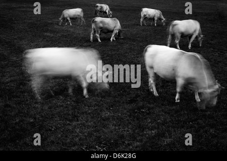 Cows grazing - Stock-Bilder