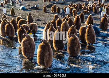 King penguin (Aptenodytes patagonicus) chicks, okum boys, Gold Harbour, South Georgia Island - Stock Image