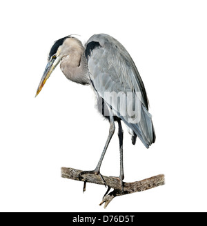 Great Blue Heron Perching On White Background - Stock Image