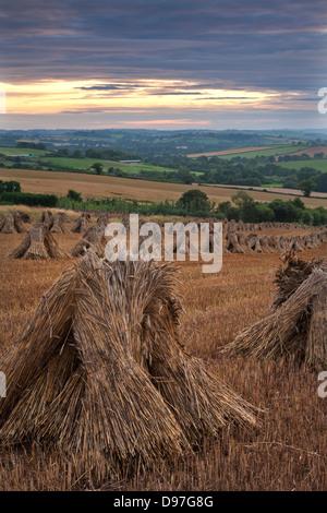 Wheat for thatching harvested in traditional stooks, Devon, England. Summer 2011 - Stock-Bilder