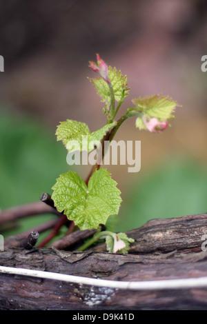 Green leaf leaves grapevine stock photos green leaf - Planting grapevine in springtime steps ...
