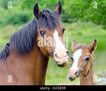 horse eating an apple stock photos amp horse eating an apple