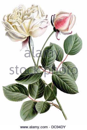 Tea rose dijon - Stock-Bilder