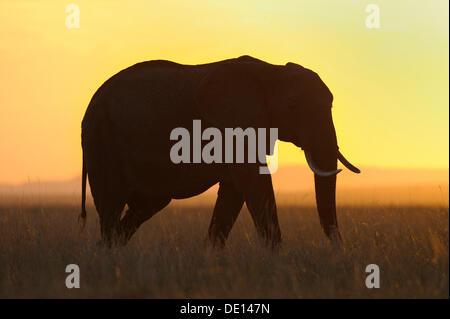 African elephant (Loxodonta africana) at sunset, Masai Mara National Reserve, Kenya, East Africa, Africa - Stock Image